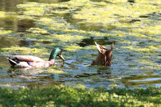 Mrs Ducks goes fishing first... delicately does it...