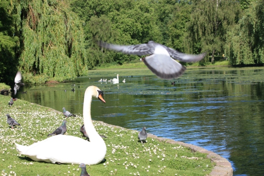 This Swan was enjoying posing for the camera!  If you look in the background you can see Mrs Swan approaching with her Sygnets!