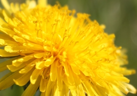Up close with a Dandelion...