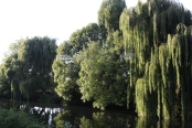 Tree reflections... love weeping willows!